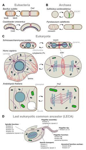 Bacteria, Archaea e citoesqueleto de eucarióticas. Representações esquemáticas são mostradas para um pequeno número de organismos de cada um dos três domínios da vida. Ele mostra a organização do citoesqueleto nas células em divisão. Filamentos homólogos são representados pelas mesmas cores. Também é mostrado a possível organização do citoesqueleto do primeiro eucarioto, com destaque para as famílias ancestrais dos motores de microtúbulos.