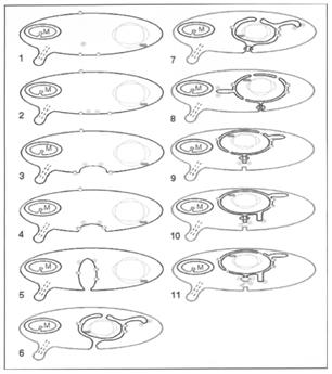 1) Apareciemento da pequena GTPase Sar; 2) Sarl para o membrana plasmática; 3) Geração de invaginações da membrana plasmática devido à atividade de Sarl. O Sarl ligado a domínios específicos da membrana do plasma induz a formação de invaginações, visto como túbulos salientes para o citosol. 4) Geração de esteróis por mitocôndrias e formação no interior da membrana plasmática de domínios com membranas mais espessas contendo esteróis. 5) atividade de Sarl para o sequestro de domínios de membrana fina. Estes domínios acumulam as máquinas de translocação SEC e locais com ligação do cromossomo. 6) Mudança de locais do DNA para dentro das protuberâncias de membrana (pró-núcleo) formados pelas invaginações. Ocorre o sequestro da máquina translocação SEC para os lados exteriores destes tampões membranosas. 7) Formação de máquinas COPI (anel azul) para a constrição dos túbulos membranosas que ligam o pró-núcleo e a membrana plasmática. 8) Formação do retículo endoplasmático do invólucro nuclear, a separação do nucleoplasma a partir do citosol e formação de poros nucleares. Isto induz o desenvolvimento da mitose. 9) A separação do lúmen do retículo endoplasmático a partir do exterior por constrição dos túbulos de ligação do invólucro nuclear e a membrana plasmática. 10) Composição dos túbulos induz a geração de uma maquinaria de fusão para o transporte de proteínas secretadas para o exterior. 11) O desenvolvimento do Golgi (indicado por linhas de luz azul) nos locais onde as máquinas de fusão são concentradas temos Sarl / COPII e ARF / COPI.