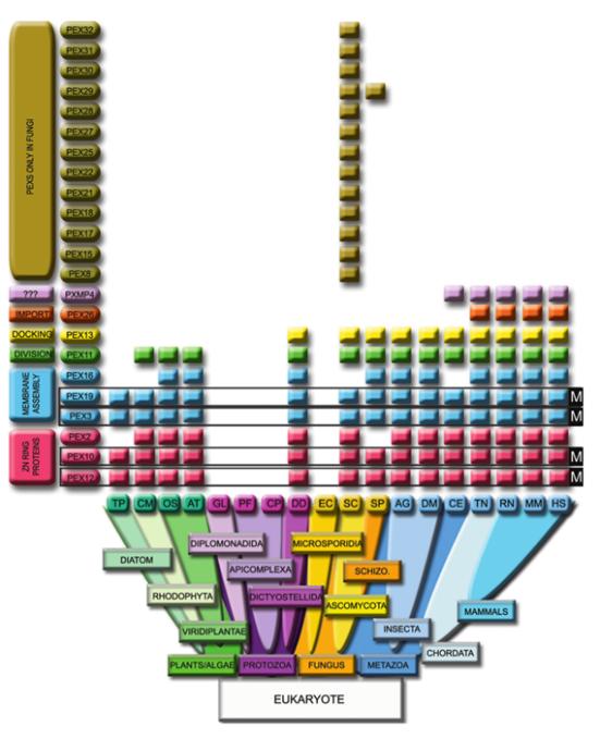 Distribuição das proteínas peroxissomais em Eukarya selecionadas que não possuem homologias significativas dentro Bactérias / taxa Archea. Marcadores peroxisomais: PEX3, Pex19, Pex10, e Pex12. PEX26 são restritos a um vertebrado e Pxmp4 para fungos e metazoários (excluindo Insecta). Pex13 esta excluído da linha com atividade fotossintética. Os a-mitocondriados Encephalitozoon cuniculi (EC) e Giardia lamblia (GL) não têm proteínas peroximais. O Apicomplexa Plasmodium falciparum (PF) e Cryptosporidium parvum (CP) contêm mitocôndrias, mas não peroxissomas. Legenda: Homo sapiens (HS); Ratus norvegicus (RN); Mus musculus (MM); Tetraodon nigroviridis (TN); Drosophila melanogaster (DM); Anopheles gambiae (AG); Caenorhabditis elegans (CE); Saccharomyces cerevisiae (SC); Schizosaccharomyces pombe (SP); Arabidopsis thaliana (AT); Oryza sativa (OS); Dictyostelium discoideum (DS); Cyanidioschyzon merale (CM) e Thalassiosira pseudonana (TP).