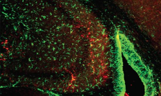 Investigadores Salk e colaboradores descobriram que física e mentalactivities dependem de uma única proteína metabólica, ERRγ, que controla theflow de sangue e nutrientes ao longo do corpo. Nesta imagem, ERRγ isshown (manchado de vermelho) no hipocampo, a área do cérebro largelyresponsible para a memória. O novo trabalho poderia apontar para uma forma de enhancelearning. Crédito: Instituto Salk