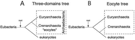 Os 3 domínios e a árvore eocítica. (A) A árvore com 3-domínios postula que as arqueobactérias (que consistem em dois reinos e Euryarchaeota Crenarchaeota-eocitos), são monofiléticos e mais estreitamente relacionados com os eucariotos do que a eubactérias. (B) Uma hipótese alternativa, a árvore eocítica, postula que as arqueobactérias são um grupo parafilético, com as Crenarchaeotas mais estreitamente relacionadas com os eucariontes. Em ambas as hipóteses a raiz foi colocada sobre o ramo eubacteriano de acordo com os resultados de estudos feitos utilizando proteínas parálogas antigas.