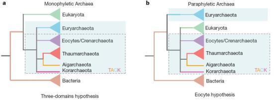 """As duas hipóteses competem para explicar a origem da célula eucariótica. Os três domínios retrata a vida celular dividida em três grandes grupos monofiléticos ou domínios: as bactérias, Archaea e Eucariotos. Este último representa a linhagem de acolhimento, às vezes também chamada """"linhagem nuclear"""" ou """"nucleo-citoplasmático"""", que adquiriu por endossimbiose a mitocôndria. Nesta árvore (a), a Archaea e Eukarya estão mais estreitamente relacionados uns aos outros, porque compartilham um ancestral comum que não é compartilhado com bactérias. A árvore eocítica (b) recupera a linhagem da célula hospedeira dentro de Archaea como um grupo irmão aos eocítos. Isto implica que, na base do pequeno conjunto de genes principais, existem apenas dois domínios principais da vida, as bactérias e as Archaeas. Na sua formulação moderna, mostrada aqui, a hipótese eocítica implica que o parente mais próximo da linhagem nuclear é um eucariota. Ambas as árvores foram tradicionalmente enraizada na haste bacteriana, seguindo estudos científicos."""