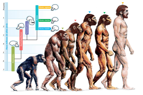 Errado: Concepção linear da evolução humana. Note a linha de fósseis na filogenia e os indivíduos que formam  uma fila em direção a espécie humana.