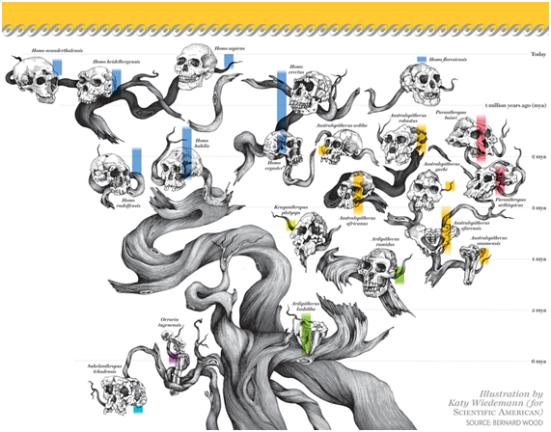 Concepção artística da evolução humana onde os ramos incompleto mostram as incertas e inconclusividades em relação ao relacionamento entre os achados fósseis. A disposição deles é feita com base em inferências de relacionamento. Note que o ser humano não esta ligado diretamente a uma linhagem central. O crânio de Homo sapiens esta no topo eligeiramente maisaltonão por uma configuração superior ou antropocêntrica mas porque a porção apical da árvore representa os periodos de tempomais recente e porque somos a unica espécie de hominídeo que ainda esta viva.