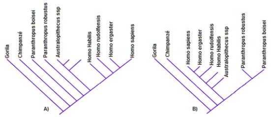 Exemplos errados de filogenia - A) Filogenia onde a porção final de uma linhagem é o ser humano e  oferece uma concepção antropocêntrica. B)  Filogenia onde a porção final de uma linhagem é o Paranthropus e  oferece uma concepção Paranthopocêntrica.