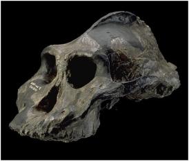 O gênero Paranthropus existia em três espécies: Paranthropus aethiopicus, Paranthropus boisei e Paranthropus robustus. Estas espécies já foram classificadas como Australopitecus. E o Paranthropus boisei que é mais um primitivo do Homo sapiens (homem moderno). Ele tinha uma qualidade e defeito, sua mandíbula era muito forte e seus dentes eram mais fortes ainda, para mastigar as folhas secas da savana, mas como o seu cérebro não era igual a sua mandíbula, forte,então era uma presa fácil para outros animais.
