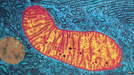 Eletromicrografia de uma célula (de cor azul), revelando parte da estrutura mitocondrial (laranja) dentro.