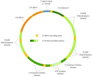 DNA mitocondrial humano