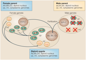 Os genomas nucleares da maioria dos organismos eucariotos são diplóides e são caracterizadas por herança por reprodução sexuada. Os genes nucleares vêm em pares alélicos. Gâmetas que resultam da meiose são haplóides e transportam apenas um único alelo (No esquema abaixo os alelos A B e C partir do progenitor feminino e a, b e cvem do progenitor masculino). O zigoto que resulta da fertilização herda um alelo nuclear década um dos pais (Aa, B e Cc). Em contrapartida, as organelas citoplasmáticas contêm caracteristicamente múltiplos genomas, homogêneos que são geralmente herdados de um dos pais. No esquema acima, mais comumente o doador é a fêmea. Em tabaco e muitas outras plantas, os genomas de mitocondriais e cloroplastos são especificamente degradados antes da fertilização (cruzes vermelhas).