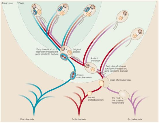 Endossimbiose Simbiontes intracelulares que originalmente são descendentes de procariontes de vida livre tem sido importantes na evolução dos eucariotos, dando origem a duas organelas. As mitocôndrias surgiram a partir de α-proteobactérias e cloroplastos surgiu a partir de cianobactérias. Ambas tem contribuições importantes para o complemento de genes que são encontrados em núcleos eucarióticos hoje. Houve co-evolução do genoma da célula anfitriã com o dos endossimbiontes. O hospedeiro é geralmente aceito por ter uma afinidade com arqueobactérias, mas, os biólogos não concordam unanimemente quanto à sua natureza e a idade de quando surgiu sua organização intracelular, o seu estilo de vida bioquímica ou quantos tipos de genes que possuía o ancestral.