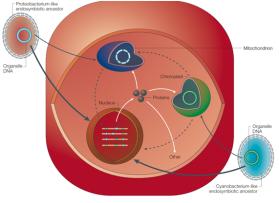 A mitocondria de eucarióticas é derivado de um ancestral endossimbiótico de uma α-proteobactéria, e a maioria dos genes que estavam originalmente presentes no genoma deste antepassado foram transferidos para o núcleo (seta preta). Apenas um pequeno número está sendo retido na organela (círculo azul). Do mesmo modo, a maior parte dos genes do antepassado endosimbionte do cloroplasto foram também transferidos para o núcleo (seta preta). Então, como resultado, organelas citoplasmáticas são fortemente dependentes de genes nucleares que importam mais de 90% de suas proteínas do citoplasma (setas brancas). As setas tracejadas indicam o DNA mitocondrial (azul) e cloroplasto (verde). Sequencias de cloroplastos e nucleares também são encontradas no genoma mitocondrial, mas pouco ou nenhum DNA promíscuo está localizada no cloroplasto.