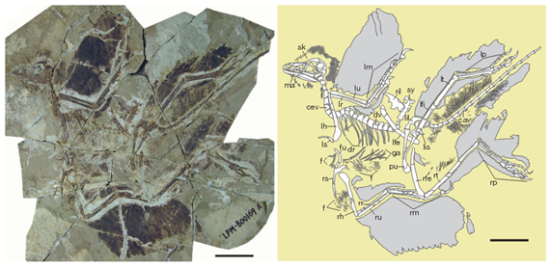 Anchiornis huxleyi (LPM-B00169). Abbreviations: cav; caudal vertebra, cev; cervical vertebra, dr, dorsal rib; dv, dorsal vertebra; f, feather; fu, furcula, ga; gastralia; lfe, left femur; lfi, left fibula; lh, left humerus; lil, left ilium; lis, left ischium; lm, left manus; lp left pes; lr, left radius; ls, left scapula; lt, left tibiotarsus;lu,left ulna;ma, mandible;pu, pubis; rc,right coracoid; rfe, right femur; rh, right humerus; ril, right ilium; rm, right manus; rp, right pes; rr, right radius; rs, right scapula; rt, right tibiotarsus; ru, right ulna; sk, skull; sy, synsacrum. Scale bar, 5cm.