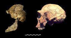 Homo Naledi crânio DH3 comparação com um exemplo de Homo erectus da África Oriental.