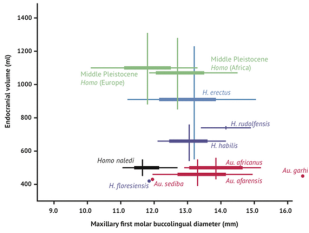 O tamanho do cérebro e o tamanho do dente em hominídeos. A largura vestíbulo-lingual do primeiro molar superior é mostrado em comparação com o volume intracraniano para muitas espécies de hominídeos. Homo naledi ocupa uma posição com o tamanho relativamente pequeno molar (comparável com o Homo) e volume relativamente pequeno intracraniano (comparável ao australopithecus). O intervalo de variação dentro da amostra Dinaledi também é relativamente pequeno, em particular em comparação com a extensa gama de variação dentro de H. erectus lato sensu. As linhas verticais representam o intervalo de estimativas de volume endocranianos conhecidos para cada táxon.
