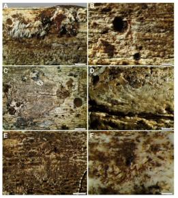 Modificações tafonomicas de superfície. (A) A remoção da superfície do osso expôs várias estrias paralelas na fíbula (UW101-1037), que rodam com o eixo longitudinal principal do osso e são interpretadas como danos causados pela rádula de um gastrópode. (B) A fíbula (UW101-1037) que mostra a remoção da superfície do osso com conjuntos de, uniformemente espaçados, várias estrias paralelas rasas seguem as fibras de colágeno. (C) tíbia (UW101-484) que mostra a remoção da superfície do osso com conjuntos de estrias pouco profundas, que mostram um bordo ondulado liso em conjunto com os poços circulares que variam de 0,1 a 3 mm de diâmetro interpretado como o resultado da ação de larvas do besouro. (D) Tibia (UW101-484) com áreas de remoção de superfície que têm uma borda com linha reta associada com marcas de raspagem interpretadas como dano feito por uma mandíbula besouro. (E) A fíbula (UW101-1037) com conjuntos de, uniformemente espaçados, vários estrias paralelas superficiais orientadas transversalmente em relação ao eixo longo do osso interpretado como danos causados por rádulas de um gastrópode, resultando numa aparência de superfície gravada que expõe estruturas subjacentes. (F) Tibia (UW101-484) mostrando aglomerados de grandes estrias individuais que são variavelmente em forma de seta e, muitas vezes se sobrepõem, interpretadas como dano feito por uma mandíbula besouro.