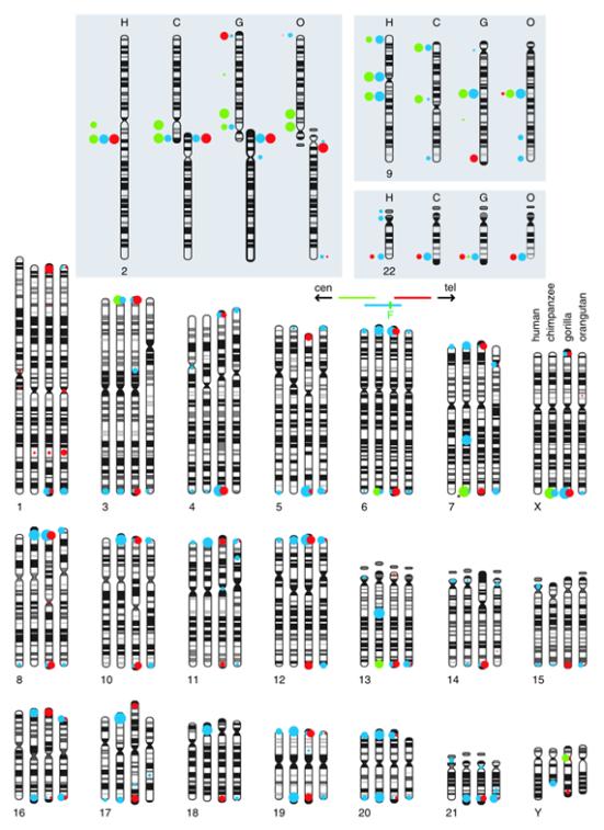 Resumo de hibridização fluorescente in situ (FISH) as análises dos cromossomos hominídeos usando BACs RP11-480C16 (verde), RP11-395L14 (azul), e RP11-432G15 (vermelho) derivados do local de fusão ancestral humano no 2T13-q14.1. Os dados para os cromossomos 2, 9 e 22, que transportam os principais blocos paralogos em humanos, são mostrados no topo, de modo que os padrões de bandas não são obscurecidos pelos sinais de FISH. Outros cromossomos são mostrados no painel inferior. Sinais de hibridação atendidos em cada local foram marcados a partir de imagens digitalizadas.