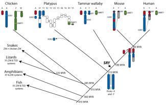 Uma visão geral da evolução de cromossomos sexuais em vertebrados. As homologias entre genomas de espécies representativas são indicadas por cores diferentes em SRY/SOX3 e DMRT1 que são controladas em cada espécie. Homólogos do réptil/ave são os pares ZW (cromossomos sexuais) e são indicados em verde, os homólogos do antigo cromossomo X e compartilhados por marsupiais e placentários (XCR/YCR) são azuis. Os homólogos autossomos que foram adicionados ao X e Y (XAR/YAR) estão em vermelho. As regiões cinzas dos cromossomos Y representam a heterocromatina. Grandes eventos na evolução de cromossomos sexuais são marcados na árvore. A seta mais escura indica a origem do SRY. O proto-X-Y de mamífero, além dos cromossomas sexuais e perda de placenta a partir dos cromossomas sexuais em monotremados são indicadas na árvore. São indicados diferentes sistemas de determinação do sexo, representados nas cobras, lagartos, anfíbios e peixes. Estes sistemas são heterogametico femininos (ZW), e heterogametico masculino (XY) e a temperatura influencia na determinação do sexo dependente.
