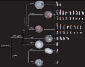 A hiperexpansão de uma duplicação segmentar em chimpanzé. Um clone de DNA humano (WIBR2-1785A6) correspondente à região duplicada foi hibridizado contra uma série de cromossomos em metáfase primatas, incluindo humanos, chimpanzés comuns (P. troglodytes), bonobo (P. paniscus), gorila, orangotango, macacos e babuínos. Centenas de cópias foram mapeadas para as porções subterminais de cromossomos de chimpanzés e bonobos, indicando uma expansão da duplicação de linhagem específica a cerca de 2 a 6 milhões de anos atrás. Sinais intersticiais de cromossomos também são observados nos cromossomos VII e XIII e correspondem a hibridação cruzada com sequência de repetição satélite subterminal. Legenda: GGO, Gorilla gorilla; HSA, o Homo sapiens; MFU, Macaca fuscata; OWM, macaco do Velho Mundo; PAN, Papio anubis; PPA, Pan paniscus; P PY, Pongo pygmaeus; PTR, Pan troglodytes.