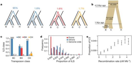 Descrição esquemática de uma Linhagem Incompleta de Classificação (ILS) onde os estados e percentuais de bases são atribuídos a cada Estado. Em B, o tamanho efetivo populacional e tempos parciais inferidos a partir do ILS e com base em um relógio molecular. Notamos que outras estimativas de taxas de mutação correspondentemente afetam as estimativas dos tempos parciais. Em C, a sobreposição entre os transposons ILS previstos e as mais próximas atribuições dentro de 100 bp de uma inserção do transposon. Em D, a proporção de ILS em exons, introns e todo o genoma, contados dentro de aproximadamente 1 MB de segmentos de alinhamento. Em E, temos as proporção de ILS dependentes das taxas de recombinação.