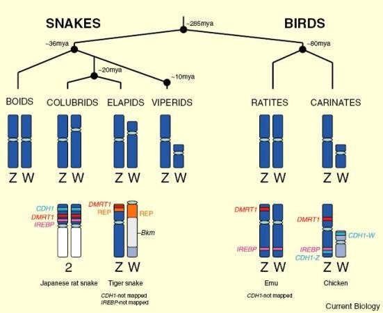Sexo morfologia cromossômica em grupos de cobras e pássaros. As morfologias mais freqüentes são mostrados. Apenas os genes cromossômicos sexo aviária são mostrados aqui, que foram localizados para carenada, ratites e cobra sexo cromossomos. No entanto, vários outros genes cromossômicos sexuais frango foram mapeadas no curto braço do rato japonês cobra cromossomo 2 (2p cromossomo) [12], o que sugere uma homologia entre frango Z e rato cobra autosome 2; este também pode indicar muitas translocações cromossômicas em serpente de rato envolvendo cromossomos sexuais e autossomos. REP: seqüências repetitivas.