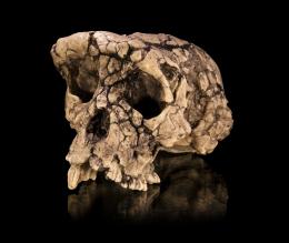 Crânio de Sahelanthropus tchadensis. Clique para ampliar e ver os detalhes.