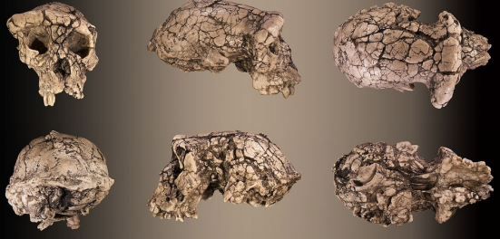 Crânio de Sahelanthropus tchadensis. Clique para ampliar