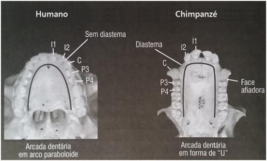 """Arcada dentaria em """"U"""" nos humanos e paraboloide em chimpanzés"""