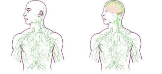 Mapas do sistema linfático: velho (à esquerda) e atualizado para refletir a descoberta de UVA. Crédito: Universidade de Virginia Health SystemSem título