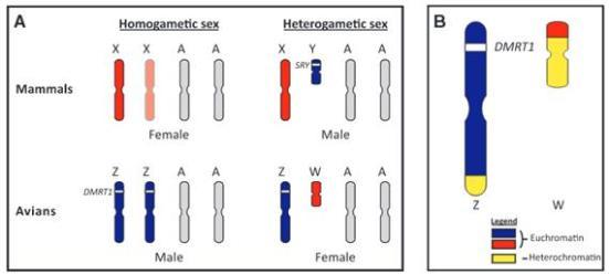 Figura 1 - cromossomas sexuais de mamíferos e de aves. (A) Representação esquemática dos sistemas de cromossomas sexuais utilizados por mamíferos e aves. Machos de mamíferos são do sexo heterogamético (XY) e as fêmeas são do sexo homogametic (XX). Em aves, os machos são homogametic (ZZ) e as fêmeas são heterogametic (ZW). O mestre genes determinantes de testículo, SRY em mamíferos e aves em DMRT1, são representadas por faixas brancas na Y e Z cromossomos, respectivamente. Dosagem compensação ocorre apenas em mamíferos, onde um cromossomo X em fêmeas é aleatoriamente inativado (representada pelo cromossomo desbotada). Autossomos são representados por cromossomos cinza rotulados 'A'. (B) Características do Z e W cromossomos de aves modernas. O euchromatic (azul no Z, vermelho no W) e heterochromatic (amarelo) em ambas as regiões são mostradas. Nomeadamente, o gene está localizado exclusivamente DMRT1 no cromossoma Z, em ambas as ratites e nonratites.