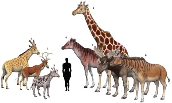 Familia: 1.Bramatherium perimense (1845) - 2.Climacoceras africanus (1936) - 3.Giraffokeryx punnjabiensis (1910) -4.Palaeotragus primaevus (1861) - 5.Sivatherium giganteum (1836) - 6.Shansitherium fuguensis (1935) - 7.Reticulated Giraffe Giraffa camelopardalis reticulata (1899) Creditos via @tinsnip. Prehistoric Life in the Phanerozoic Eon