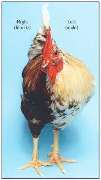 Figura 2 - frango Gynandromorphic. O lado esquerdo do frango é do sexo feminino com coloração castanha, pequena acácia e pequeno esporão perna. O lado direito do frango é do sexo masculino na coloração (predominantemente branco) e caracteriza-se pela grande acácia, grande esporão perna e maior musculatura do peito. Reproduzido com permissão de Macmillan Publishers Ltd. Zhao et al, (2010), Nature, 464:. 237-42. Copy-direito (2010).
