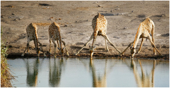 Girafas se posicionando para beber água no Seringuete.