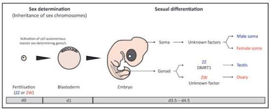 Figura 3 - A determinação do sexo ea diferenciação sexual no modelo de frango. A determinação do sexo ocorre no embrião precoce (E0-E2) de uma maneira autónoma de célula e é regido pela herança de hromosomes sexuais. A diferenciação sexual de tecidos como o soma e gônadas, em seguida, ocorre como o desenvolvimento avança. Diferenciação sexo gonadal em machos ZZ envolve o gene Dmrt1 enquanto o sexo feminino rença mestre ciação gene permanece desconhecida. Porque diferenciação sexual é, pelo menos em parte, a célula autônoma, outro sexo ligado atualmente não identificado genes podem controlar a diferenciação sexual no cérebro e outros tecidos somáticos.