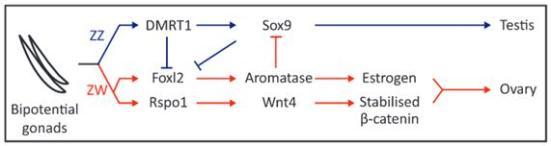 Figura 4 - fatores moleculares hipótese de estar envolvido na determinação do sexo das aves e diferenciação sexual gonadal. Modelo esquemático das cascatas genéticos que se pensa controlar a determinação do sexo e da diferenciação das gónadas embrionárias em testículos (representado em azul) ou ovários (representado em vermelho). Componentes e vários aspectos deste jogo são baseadas no conhecimento atual em ambos determinação do sexo das aves e mamíferos.