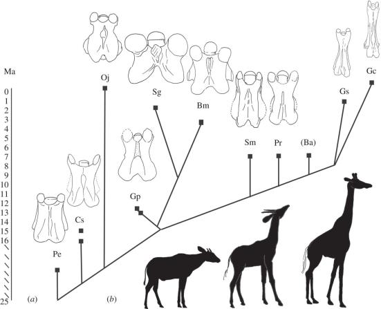 Cladogram com a idade geológica e vista dorsal de vértebras C3 da taxa avaliada. Pe, Prodremotherium elongatum; Cs, Canthumeryx sirtensis; Oj, Okapia johnstoni; Gp, giraffokeryx punjabiensis; Sg, sivatherium giganteum; Bm, Bramatherium megacephalum; Sm, Samotherium importante; Rouenii Pr, Palaeotragus; Ba, Bohlinia Ática; Gs, Giraffa sivalensis; Gc, Giraffa camelopardalis. Silhuetas de O. johnstoni, S. major e G. camelopardalis (da esquerda para a direita) são fornecidos para dar uma imagem completa de um indivíduo de pescoço comprido, curto-beijado e intermediário de pescoço.