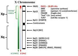 Os genes no braço curto do cromossomos X humano, na porção Xp11.23 estão também localizados em cromossomos autossomos em marsupiais e de monotremados (Spencer et al, 1999), além de tantas outras sequencias homologas em todo o genoma. A perda de quase todos os 1.100 genes originais no cromossomo Y humano ao longo de 310 milhões de anos desde de quando humanos e aves compartilharam um ancestral comum significa que os genes foram perdidos a partir do Y a uma taxa de 4 por milhão de anos. A este ritmo, os últimos 45 genes serão perdidos e o Y irá desaparecer em cerca de 12 milhões anos, embora a seleção positiva de genes seja um importante nas funções especificas no sexo masculino e podem evitar o eventual desaparecimento do Y . Clique para ampliar