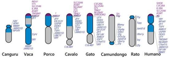 Homologia de genes entre cromossomos Y existentes de mamíferos em comparação com ancestral dos mamíferos Ys. Roxo indica regiões pseudoautossômica, azul são as regiões não recombinar eucromáticos do Y e cinza são heterochromatin.