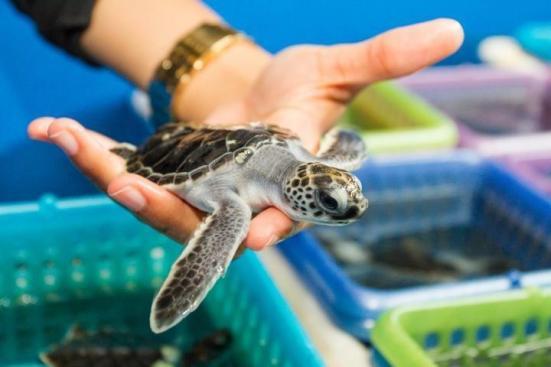 As praias de nidificação ao longo da costa da Flórida são importantes, pois produzem a maioria dos filhotes cabeçudas que entram no noroeste do Oceano Atlântico. Crédito: Florida Atlantic University