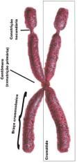 Anatomia cromossômica