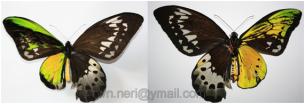 Ginandromorfismo em Ornithoptera goliath procus (Papilionidae). Espécie bastante comum na Nova Guiné.