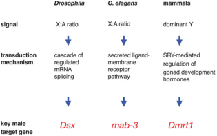 Variação no sistema de modelo de determinação do sexo. Embora os mamíferos, Drosophila, e C. elegans todos usam GSD, eles interpretam o seu conteúdo cromossomo sexual através de distintas vias de transdução de sinal. No entanto, todos os três, eventualmente convergem para um membro da família de DM cuja expressão está associada com o desenvolvimento masculino. Drosophila DSX é incomum para genes DM em também ter um papel importante no desenvolvimento do sexo feminino (através de uma variante de processamento especificamente feminino).