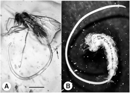 Nematóides mermithid antigos existentes e emergentes de seus hospedeiros de insetos. Verme A. juvenil do gênero Heydenius emergindo da formiga macho awinged do gênero prenolepis. O espécime é preservada em âmbar do Báltico, aproximadamente, 40 milhões de anos. A barra de escala representa 1,2 mm. Fotografia reproduzida de Poinar (2002) com a permissão do autor e Cambridge Univ. Pressione. B. juvenil mermithid emergindo de uma larva de mosquito existente. Foto usada com permissão da Univ. de Nebraska, Lincoln Departamento de Entomologia.