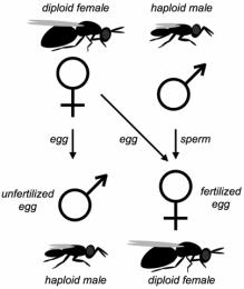 Determinação do sexo em abelhas