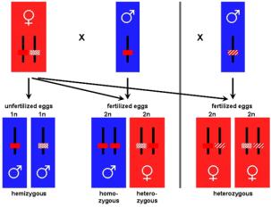 Genótipos e destino sexual no âmbito do sistema de determinação do sexo complementar encontrado em muitas espécies de himenópteros (formigas, abelhas, vespas, vespões). Os machos derivam de ovos não fertilizados e têm apenas um alelo determinação do sexo (marcado por diferentes barras coloridas). Os ovos fertilizados com dois alelos que determinam o sexo diferentes (heterozigotos) se desenvolvem em fêmeas. Machos diplóides surgem a partir de ovos fertilizados que são homozigóticos para o mesmo alelo-determinação do sexo. Estes machos diplóides surgem mais comumente em condições de endogamia em que o pai tem um alelo em comum com a mãe.