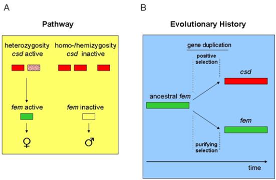 A Natureza e Evolução da via complementar a determinação fazer abelhas sexo 'em'. (A) Em heterozigotos CSD, CSD (determinador complementar sexual) Produtos de genes Activar o FEM jusante do gene (feminizer), Cujo PRODUTO génico E Necessário para o Desenvolvimento do sexo feminino. Em animais / hemizigóticas homo, o PRODUTO fazer gene csd Garante o Desenvolvimento do Sexo Masculino Pela via Regulamentar Padrão, EM Que Nem uma CDT ELm Produtos de genes ativados São fem. (B) O Sinal primário Para uma determinação do sexo, o gene CSD, surgiu a Partir fazer progenitoras gene ancestral FEMININO POR duplicação de genes. A Função moderna de CSD evoluiu POR Selecção positiva e de Fixação das Novas alterações de Aminoacidos na proteína Csd.