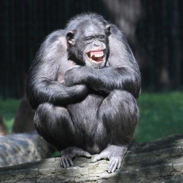 Chimpanzé de sorriso (imagem). Estudos anteriores por este grupo sugerem a existência de traços de personalidade em grande parte semelhantes em seres humanos e chimpanzés, mas até o presente estudo, os pesquisadores não tinham explorado a base neuroanatomical desses traços em primatas não humanos. Crédito: © Kletr / Fotolia