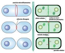 Diferença na citocinese de célula vegetal e animal ao final da mitose