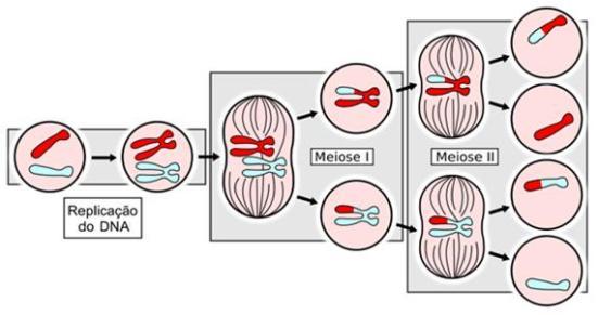 Resumo da Meiose