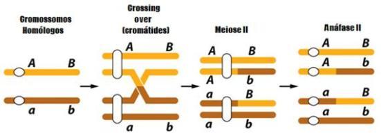 Exemplo de Crossing-over