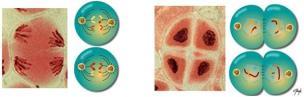 Telófase II e Citocinese